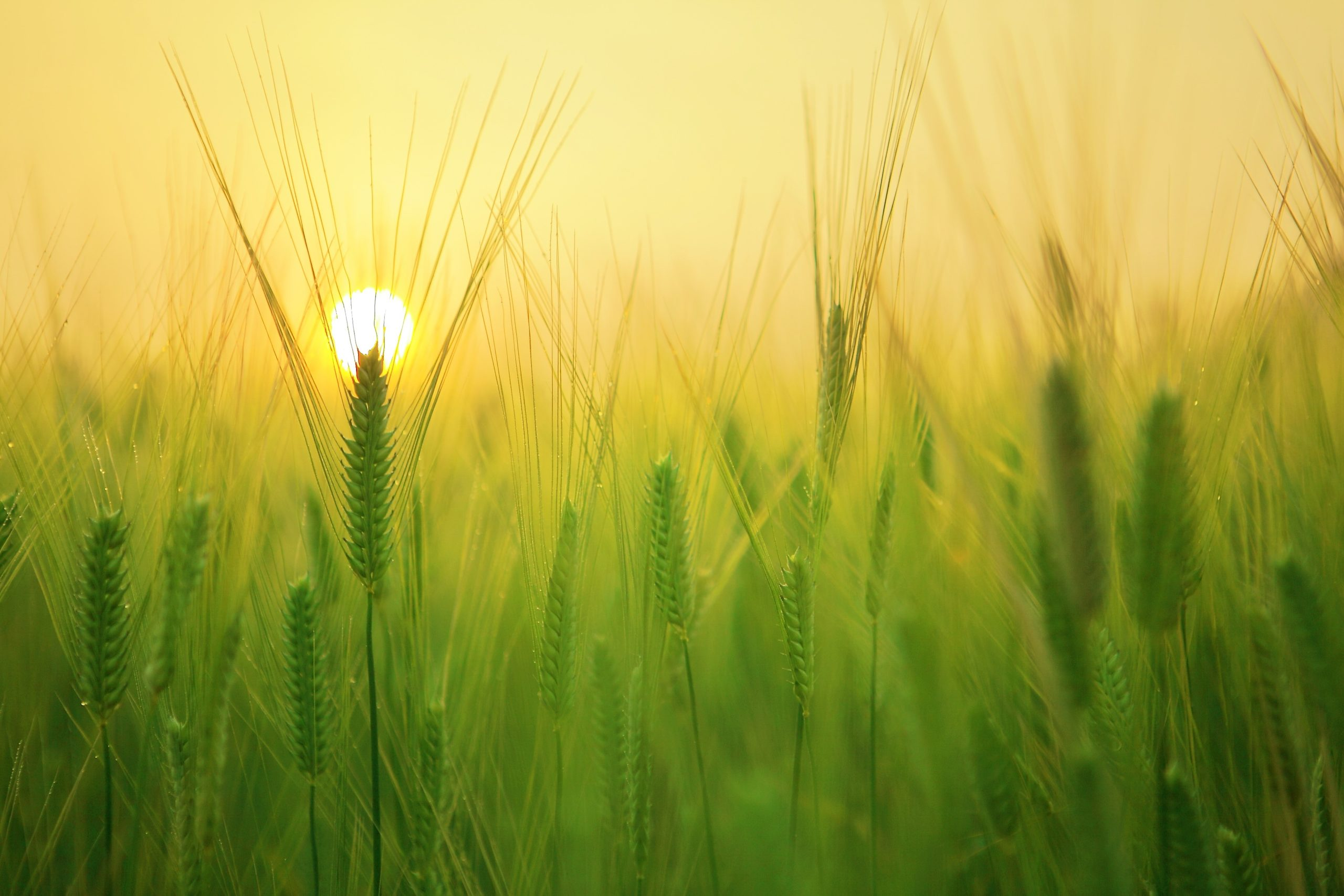 agriculture-barley-field-beautiful-close-up-207247